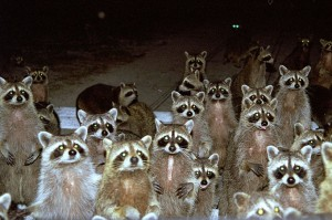 The gaze of raccoons that lived in the RV